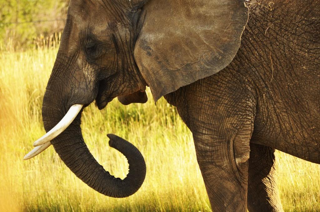 Elephant eating