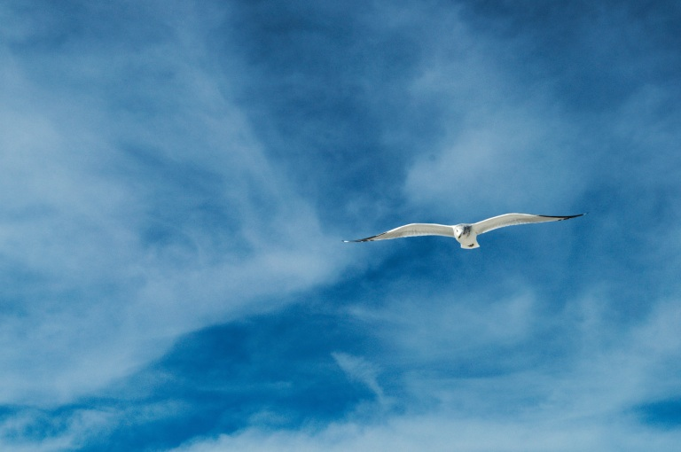 Flying_gull_1