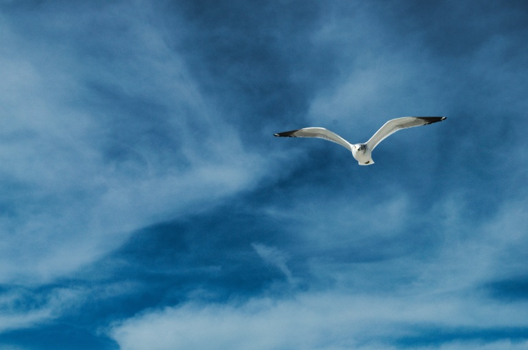 Flying_gull_2