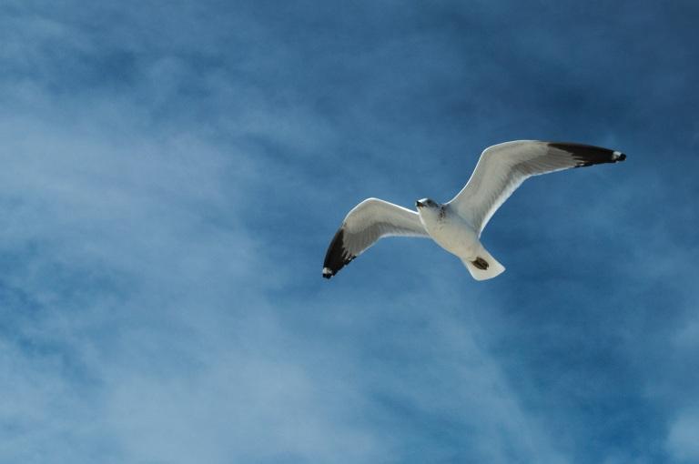 Flying_gull_3