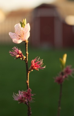 Peach_blossom_evening_01