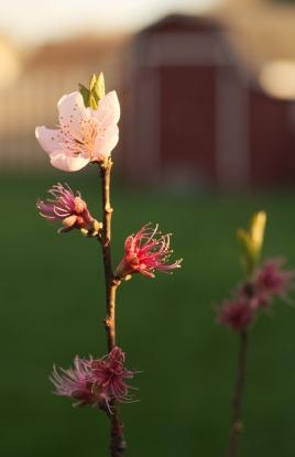 Peach_blossom_evening_01