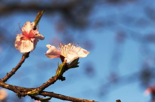 Peach_blossom_evening_02