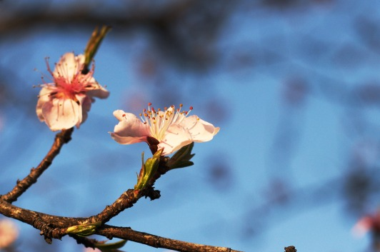 Peach_blossom_evening_02