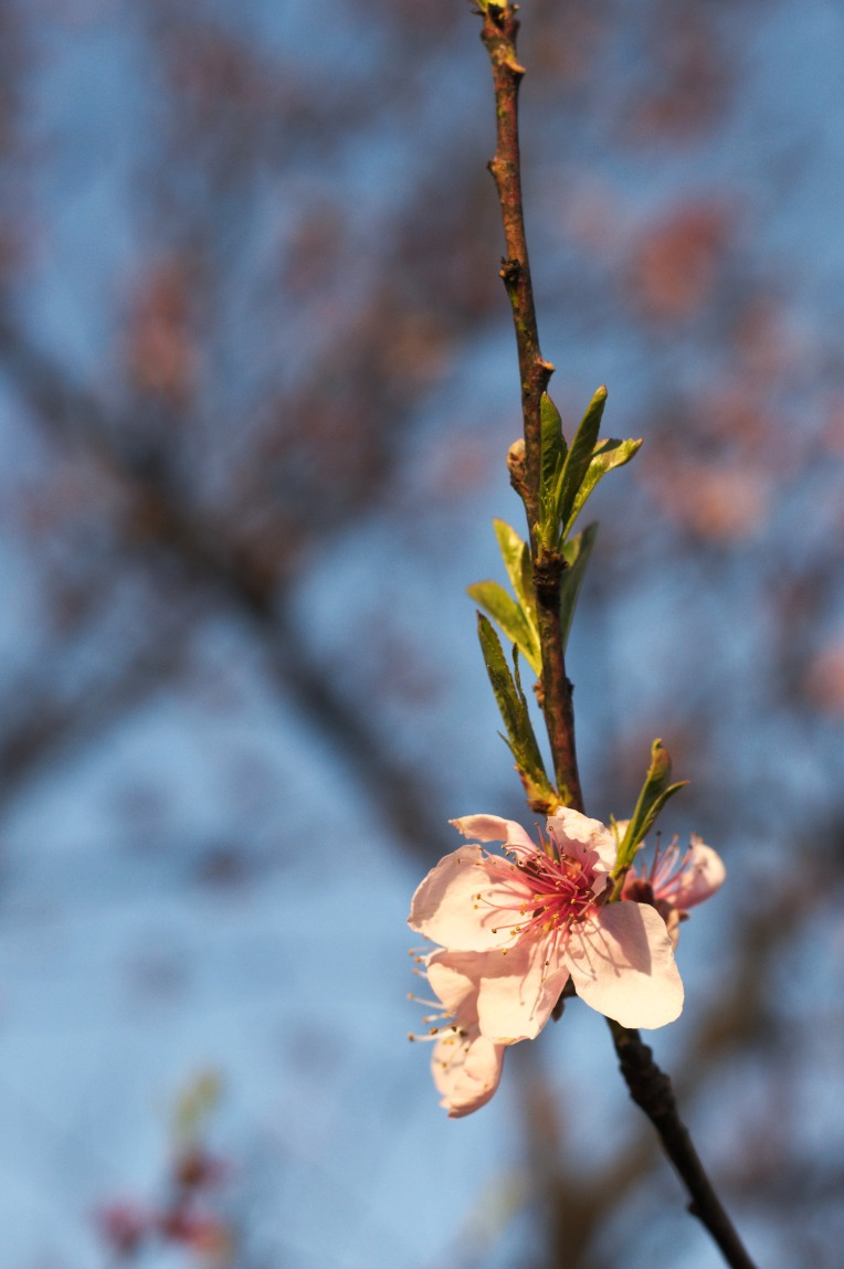 Peach_blossom_evening_03